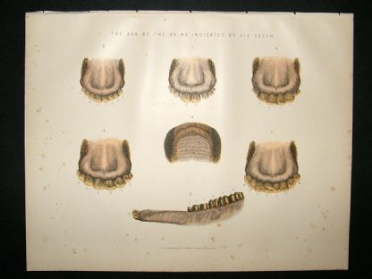 Miles Practical Farriery C1875 Antique Print. Age of The Ox, Indicated by Teeth | Albion Prints